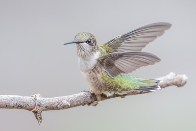 #574 Ruby-throated Hummingbird 9248