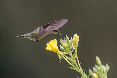 #1755 Ruby-throated Hummingbird