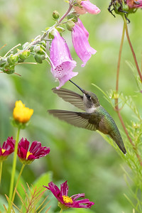 #1729 Ruby-throated Hummingbird