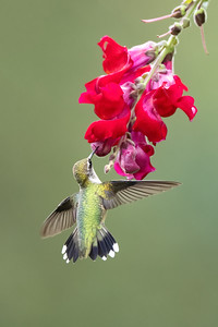 #1733 Ruby-throated Hummingbird