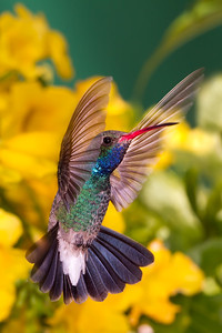 Broad-billed hummingbird, Tucson, AZ