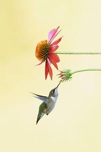 #1743 Ruby-throated Hummingbird