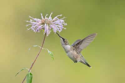 #1753 Ruby-throated Hummingbird