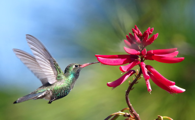 Broad-billed hummingbird snacking (rare FL Visitor)