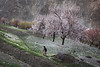 Man after plowing his terraces for potatoe sowing in Nagar valley, while apricot tree blooming to welcome spring season.
