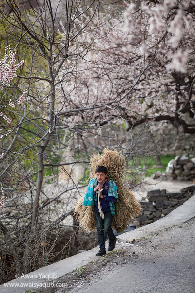 Boy carrying feed for livestock in Duiker Hunza