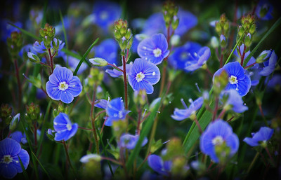 Speedwell  I used to seek inspiration in high mountains, and wide landscapes under big skies. In recent years I've been turning my lens to smaller things, often right underneath my feet. This is one of my favourite wildflowers. Not because it is rare, it is actually quite common, but because it inspires me to keep going on my long off road runs. The flowers are tiny, and form a blue mist alongside the paths on my local nature reserve. It is only when you get right down with them that you can appreciate the details of the petals.