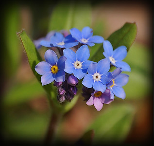 The Small Things  This is a re-worked photo of some Forget-me-nots from yesterday. I cropped it tighter and added a vignette to draw the eye straight to the beautiful flowers. These things are really tiny and delicate, and for someone without a macro lens they are very difficult to photograph too!  A few years ago I only took photos of big landscapes, but recently I've learned to appreciate the smaller things right under my feet as well. There is a whole different world down there, and most people never notice it :)