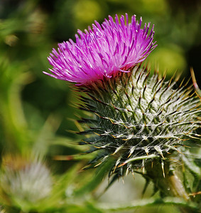 "Harsh!  I liked the look of the big thistles as I walked by them yesterday. But it was almost midday on the Summer Solstice, so the sun was as vertical as it ever gets in the UK, and the light couldn't have been harsher. They were also moving around in the breeze, so I really had low expectations of what I'd get. But, when I cropped it down a bit I started to like the spikiness throughout the image, and although far from perfect I think the harsh light adds to the ""ouch factor"" of the whole."