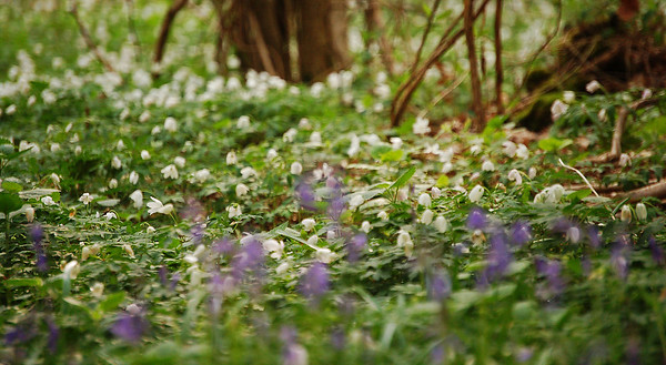 Impressionistic Woodland  I spend a lot of time exploring different ways to photograph common objects in nature, and today was the turn of wildflowers again. The idea here was to get down really low, and shoot through the bluebells with a long lens and very shallow depth of field. The bluebells in the foreground, and the wood anemones in the distance, combine to give an impressionistic feel to this woodland scene. I'm looking to try this a lot more, with the aim of getting a cleaner image, without the clutter of branches and forest detritus. I also hope that next time the ground will be drier so I won't get so muddy :)
