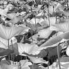 lotusleavesir-3403 copy