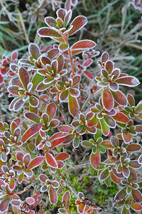 Frosty_Leaves_006