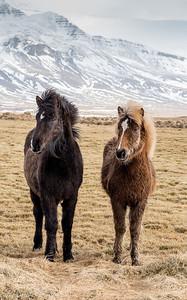 Snæfellsnes Peninsula  Icelandic horse