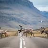 Caribou, Iceland