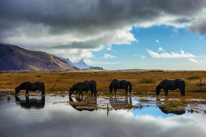 Ice 184 Icelandic Horses