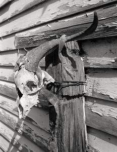 ram_skull+snake_skin+post-t1337