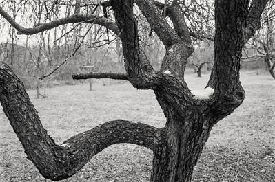 plum_tree-fp4-31-t0031.tif