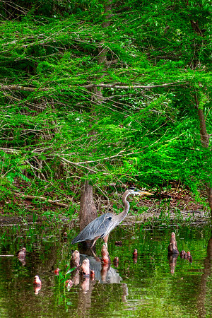 Blue Herron - Crab Orchard Wildlife Area