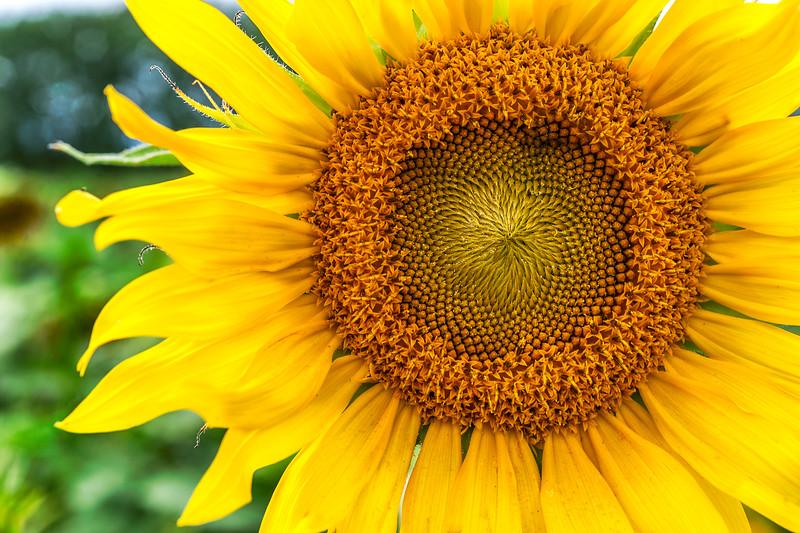 Matthiessen State Park Sunflowers