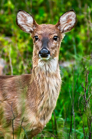 White Tail Deer - Crab Orchard Wildlife Area