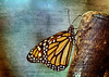 Monarch butterfly,danaus plexippus