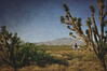 Joshua tree and rider