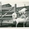 Man milking goats, Hollister, CA, ca. 1920.  RPPC