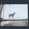 Goat on a ship's boom, ca. 1885.  MP AP