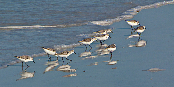 North America, USA, Florida, Sarasota, Siesta Key. Cresent Beach,Sanderlings III