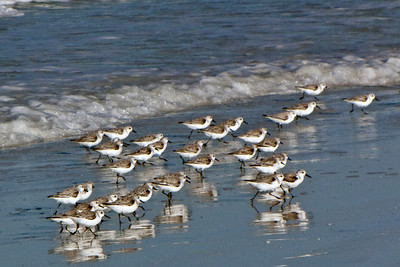 North America, USA, Florida, Sarasota, Siesta Key. Cresent Beach, Sanderlings II