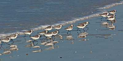 North America, USA, Florida, Sarasota, Siesta Key. Cresent Beach, Sanderlings
