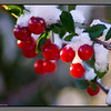 First autumn snow -IV<br /> Cherries in my garden, Bodø