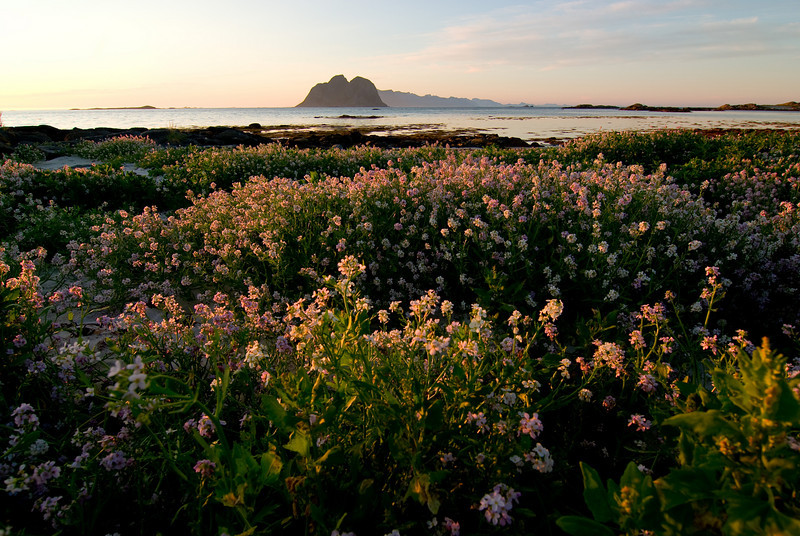 Summer flowers at the shores - Nordland, Værøy in Lofoten