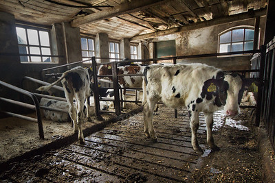 The cows were out for the first time, but the calves stayed indoors.