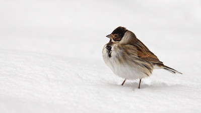 Male reed bunting.