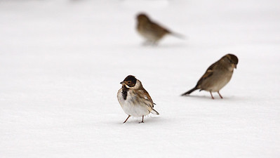Male reed bunting and friends.