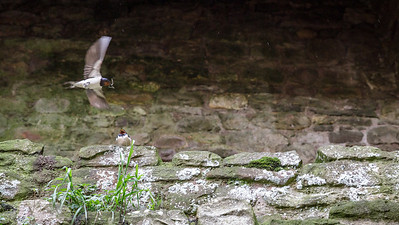 Swallow perched on a ledge at Raglan Castle.