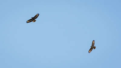 Buzzards (Margam Park).