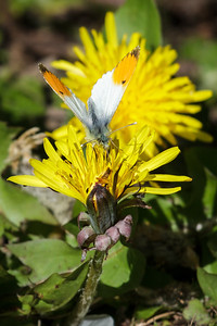 Orange Tip (Parc Slip).
