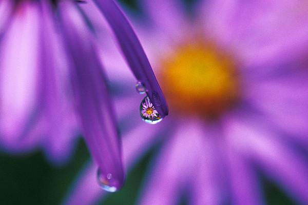 #182 Aster in a Dew Drop, Mt. Rainier Natl. Park, WA