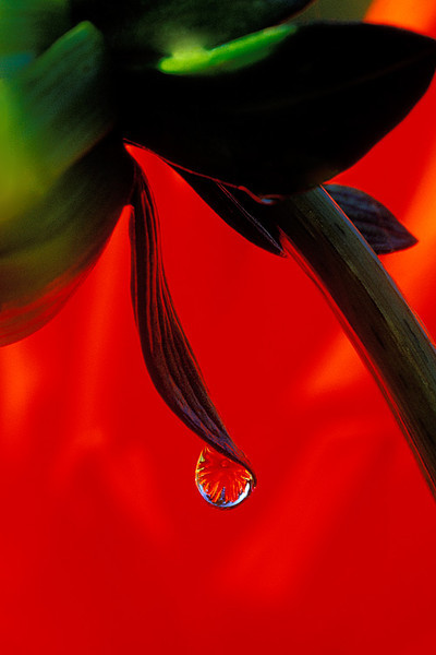 #190 Dahlia in a Dew Drop