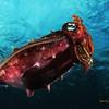 ambon- cuttlefish