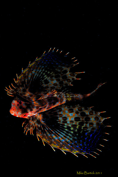 """Flying Gurnard<br /> -I have never seen a Gurnard fly until this one off instance. <br /> Critters often behave quite differently on a night dive then they do during the day. Such was the case with this flying Gurnard. On a sandy slope at about 30m/90 feet i found this little guy, sitting in the sand. I attempted to shoot him face on but my lights annoyed him enough to move away. These guys are usually asleep and easy to approach in the evening but not this guy. He was definitely subdued but hunting. I tried moving around in front of it but it kept rotating. I finally sat there, frustrated trying to let this anxious critter relax. Looking upslope i could se the strobes of my friends flashing and almost left to join them. Then i noticed the full moon, all the way from down there. I turned off my strobes and sat there in the dark, amazed at how black it was. About a minute passed and i decided to give it another whirl, by this time my little buddy had to be relaxed. When i turned my light on, he was gone....i looked up and there he was, hovering before me at mask level. Seconds later he glided back down to the sand. I repeated the process until finally on the third try it took off downslope, i chased it as far as i could before turning back, i never looked away from my viewfinder as i kept shooting and firing photo's. My computer began beeping like mad and as i turned away all i could think of is, thats why the call them """"Flying Gurnards""""..."""