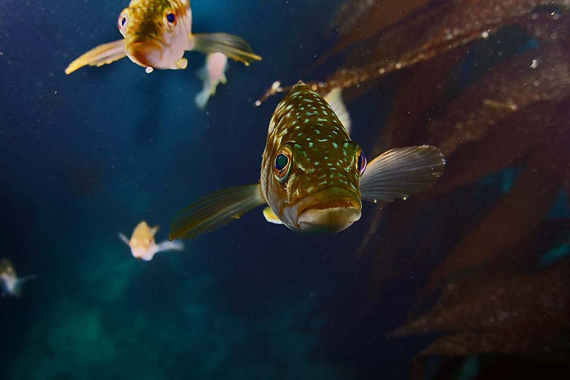 Calico Bass Juviniles, lining up to look at themselves in my dome port<br /> Casino point , Catalina