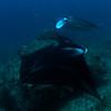 Manta Rays<br /> Palau, Micronesia