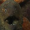 Morey eel<br /> Shaws Cove