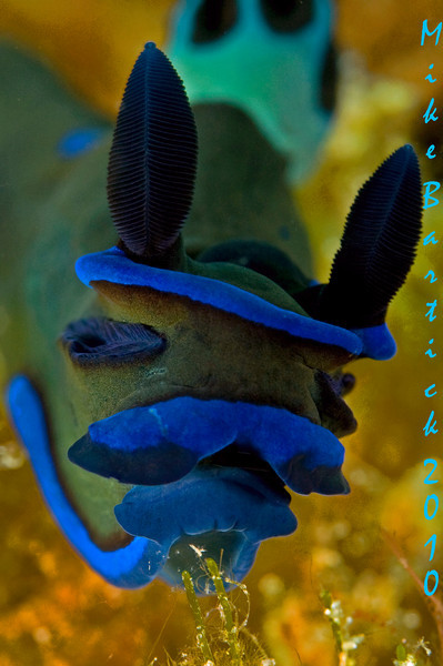 Tambja Sp, I wanted a detailed head shot of this Nudi to see the glands on each side of its head. It is speculated that these are sensory organs in addition to the rhinophores