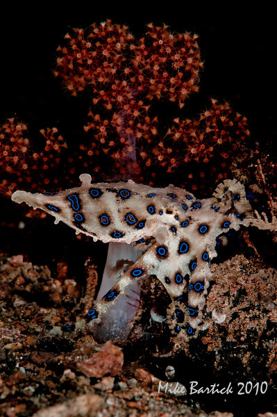 Blue Ring Octopi-lit just right...