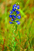Vipers Bugloss Blueweed