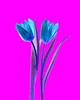Tulips 2 - 2 of 3